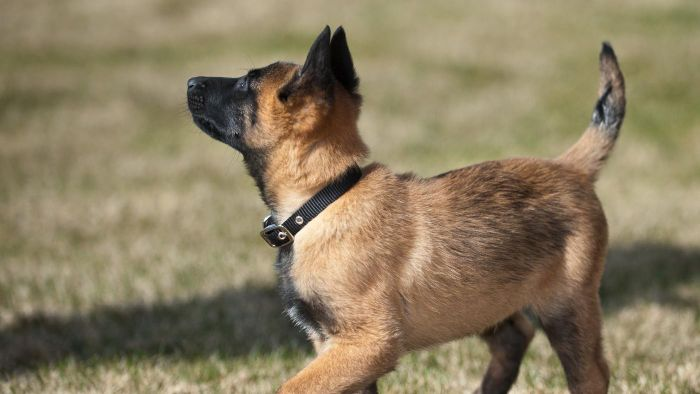 How Large Do Malinois Puppies Grow?
