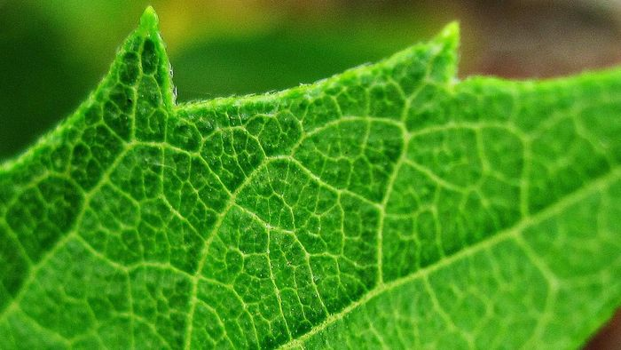 Why Do Leaves Have Veins?