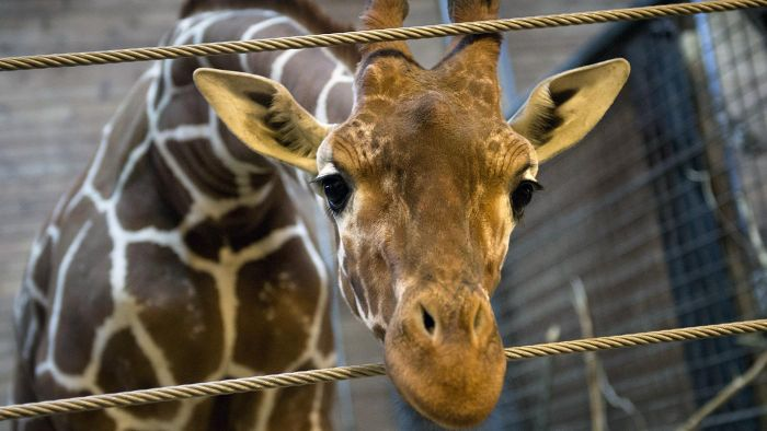 Is It Legal to Have a Pet Giraffe in the United States?