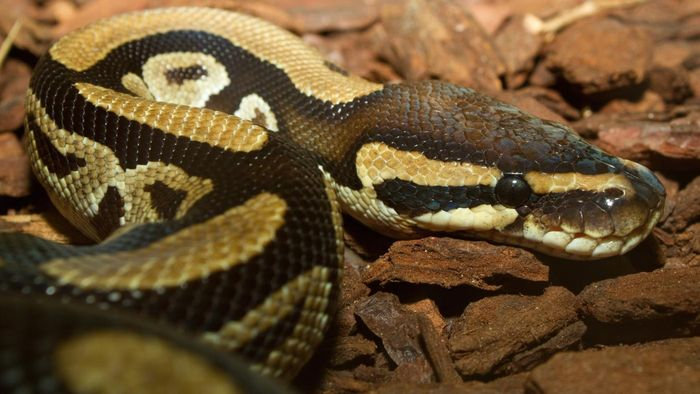 What Is a Leopard Ball Python?