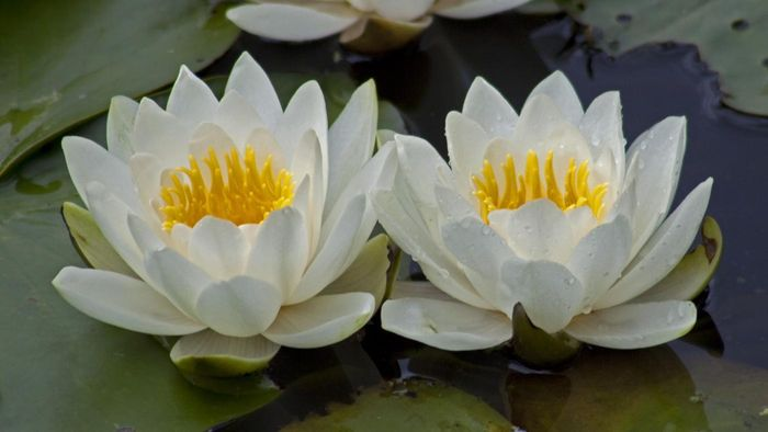 What Is the Life Cycle of a Water Lily?
