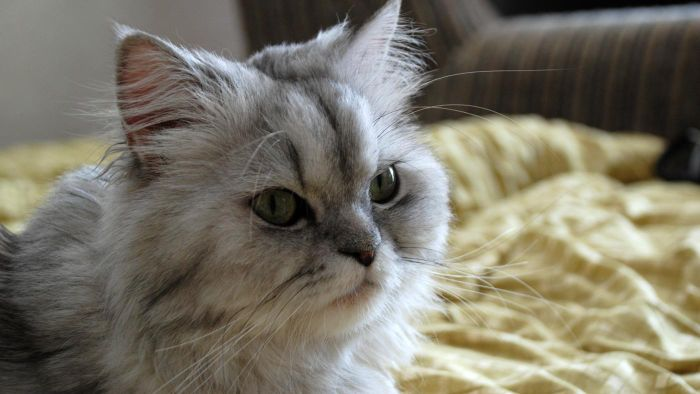 What Is the Life Span of a Persian Cat?