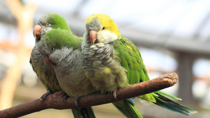 What Is the Lifespan of a Quaker Parrot?