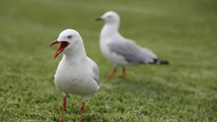 What Is the Lifespan of a Seagull?