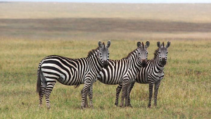 What Is the Lifespan of a Zebra?