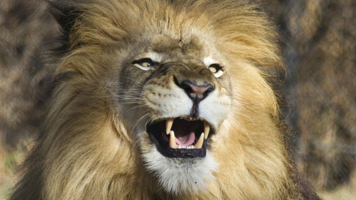What Are a Lion's Teeth Called?