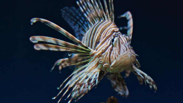 Are lionfish freshwater or seawater inhabitants?