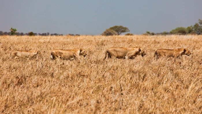 How Do Lions Adapt to the Grasslands?