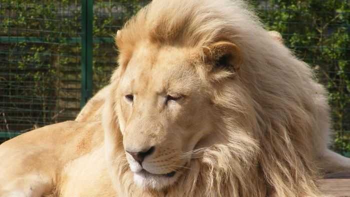 Why Are Lions Called the King of the Jungle?