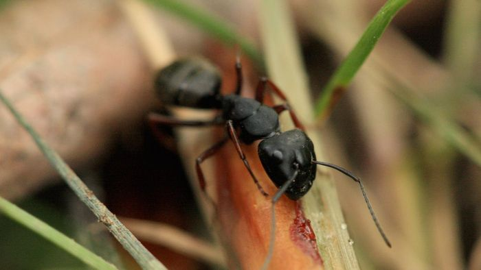 What are little black ants called?
