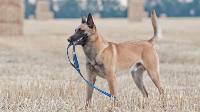 How do you locate Malinois breeders?