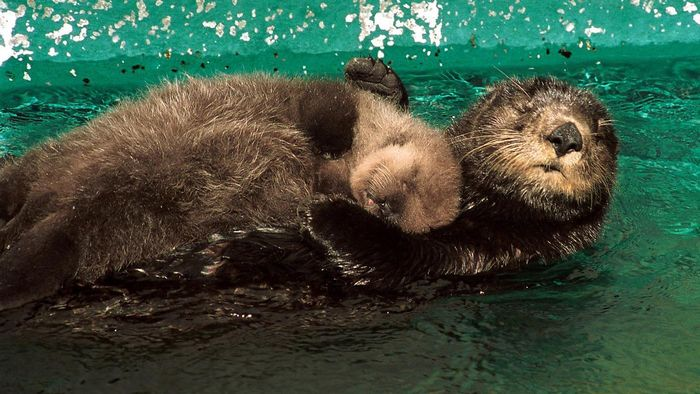 How Long to Baby Otters Stay With Their Mothers?