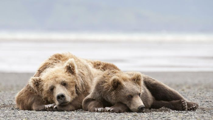 How Long Do Bears Hibernate?