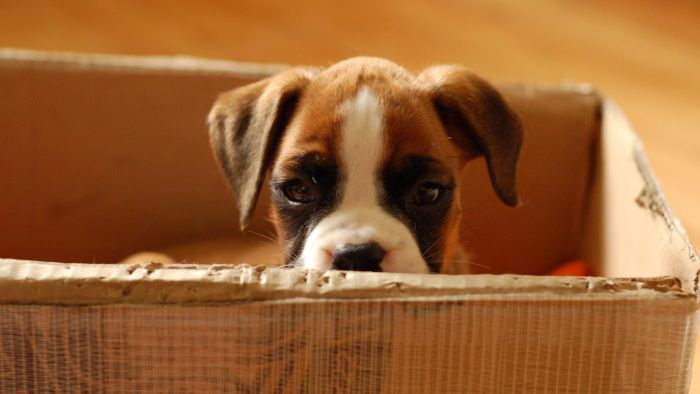 How long do Boxer dogs live?