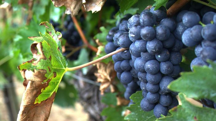 How Long Does It Take Grapes to Grow?