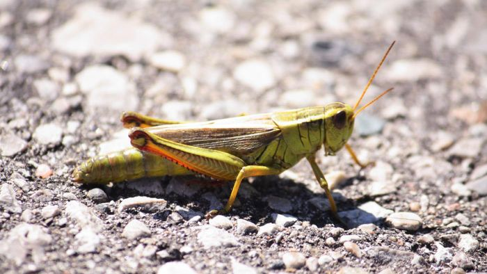 How Long Do Grasshoppers Live?