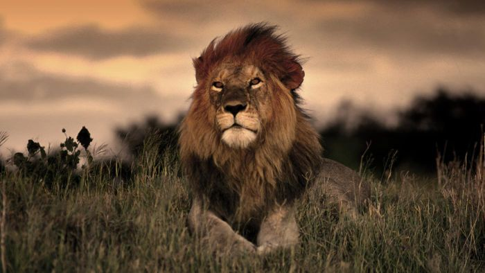 How long do lions live in the wild?