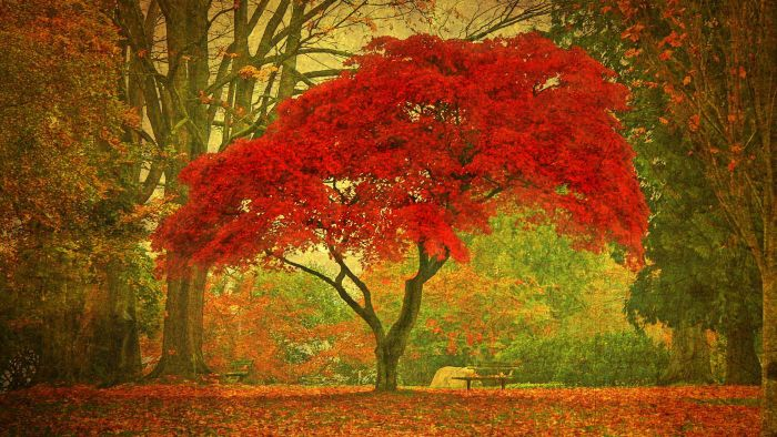 How Long Do Maple Trees Live?