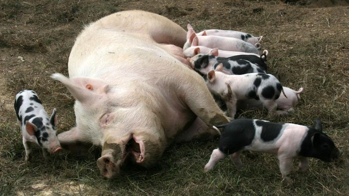 How Long Are Pigs Pregnant?