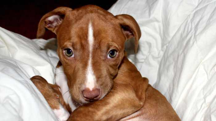 How long does a pit bull stay pregnant?