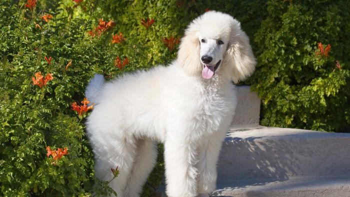 How Long Do Poodles Live?