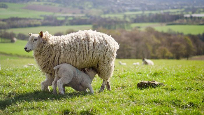 How Long Are Sheep Pregnant For?