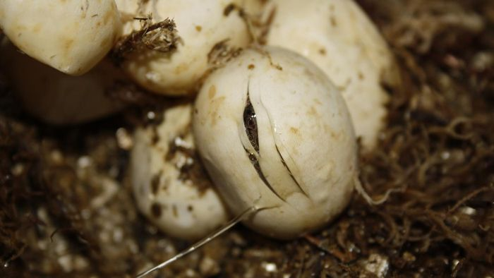 How Long Does It Take for Snake Eggs to Hatch?