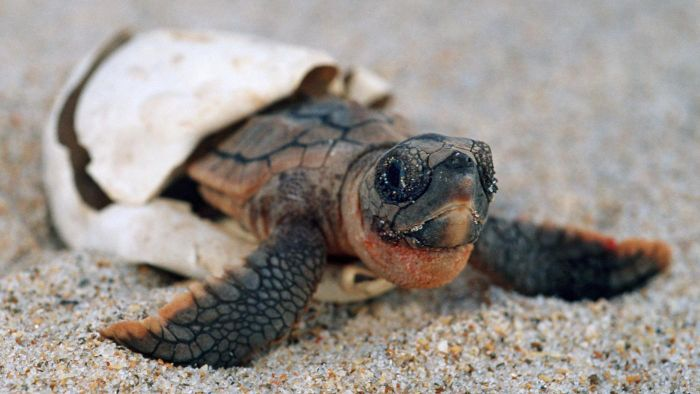 How Long Do Turtles Stay Pregnant?