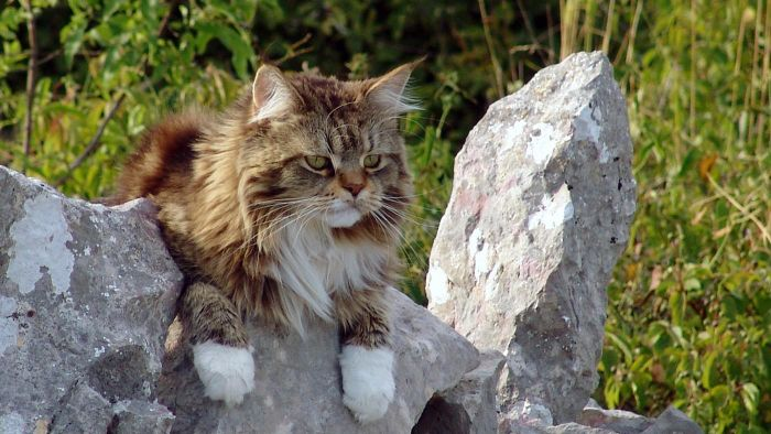 What is a Maine Coon cat?