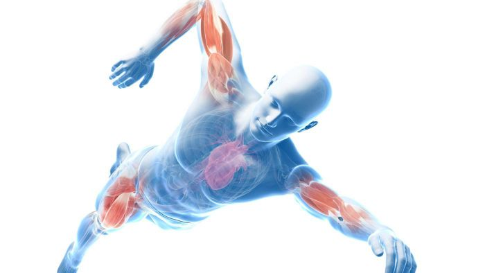 What are the major contour muscles of the body?