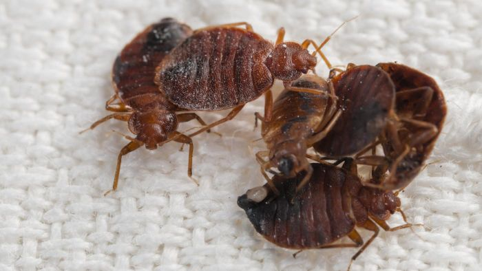 How Do You Make Homemade Bed Bug Killer?