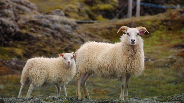 What Is a Male Sheep Called?
