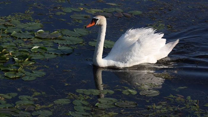 What Is a Male Swan Called?