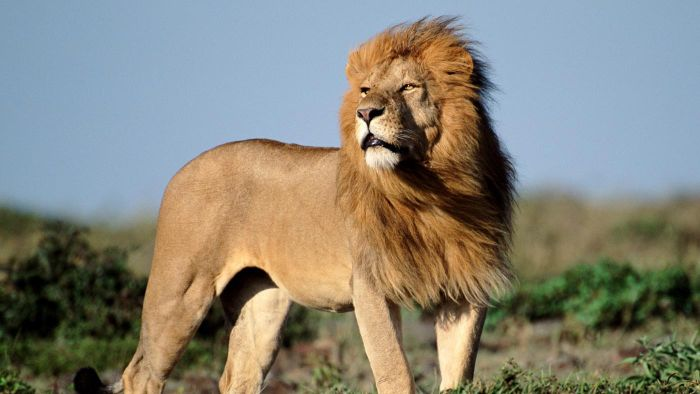 How Many African Lions Are There in the Wild?