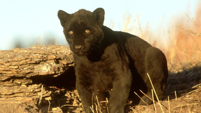 How Many Black Leopards Are Left in the World?
