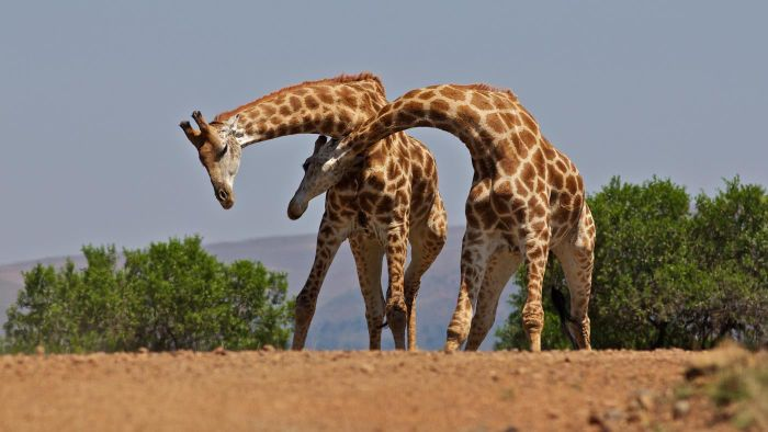 How Many Bones Are in a Giraffe's Neck?