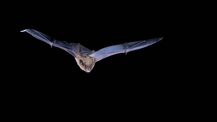 How many bugs does a bat eat in a night?