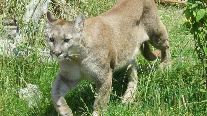 How Many Cougars Are Left in North America?