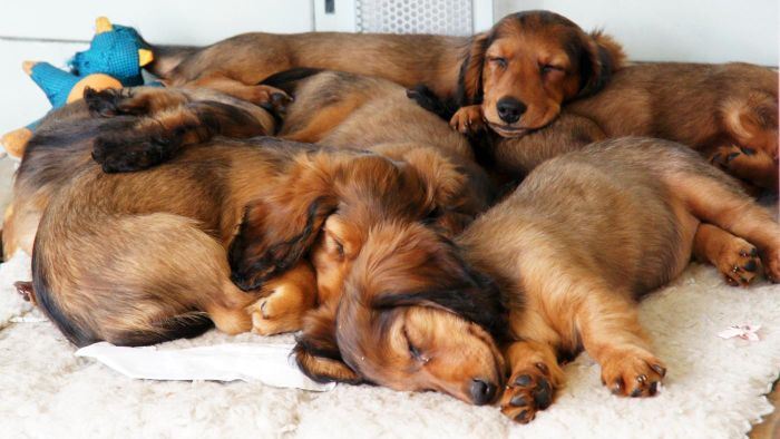 How Many Dogs Can One Household Own?
