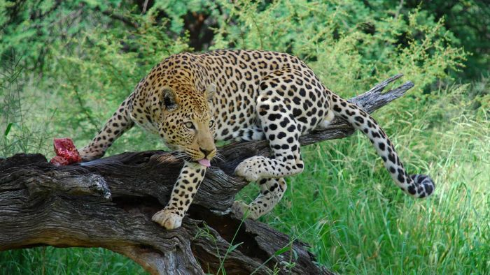 How Many Leopards Are Left in the World?