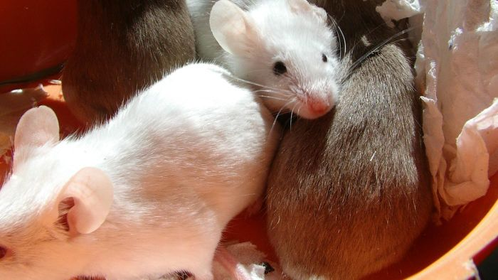 How many mice are in a litter?