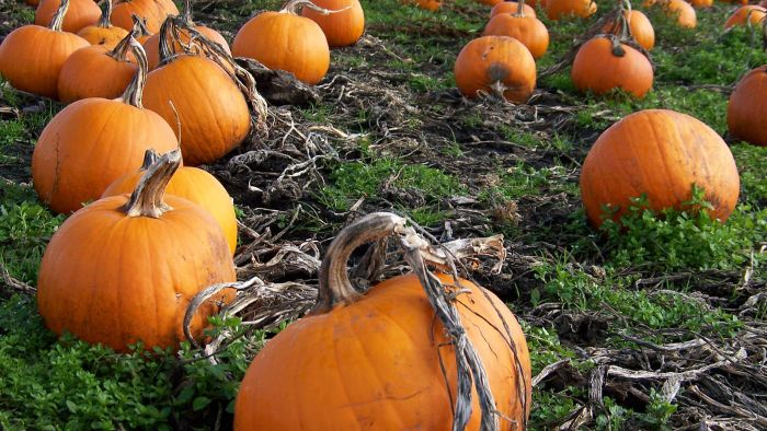 How Many Pumpkins Are Sold Each Year?