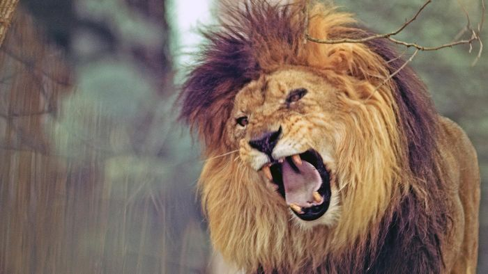 How Many Teeth Does a Lion Have?