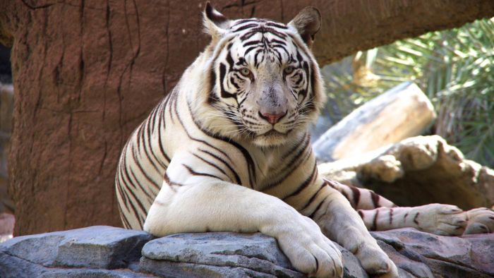 how many white tigers are left in the world? | reference