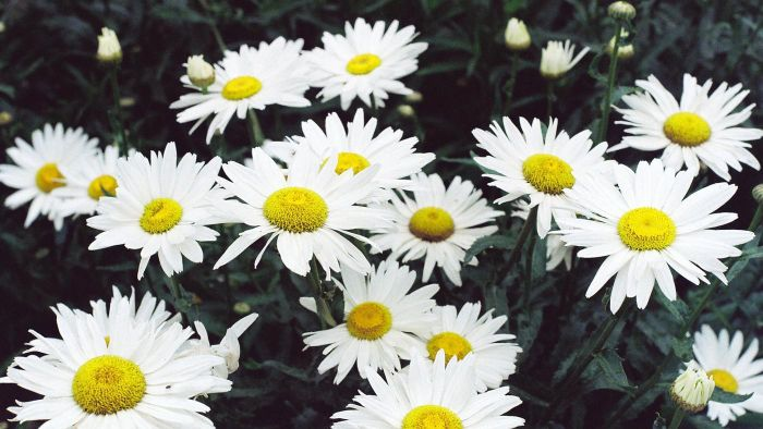 What Is a Marguerite Daisy?