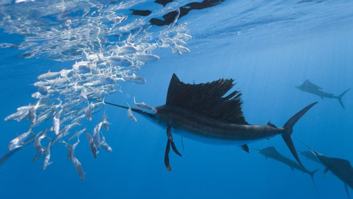 What Is a Marlin?