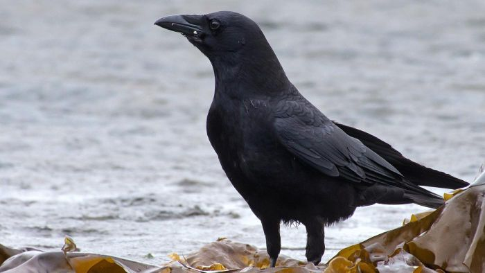 What Does It Mean If a Person Sees a Black Crow?