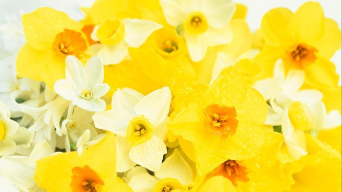 What Is the Meaning of the Narcissus Flower?