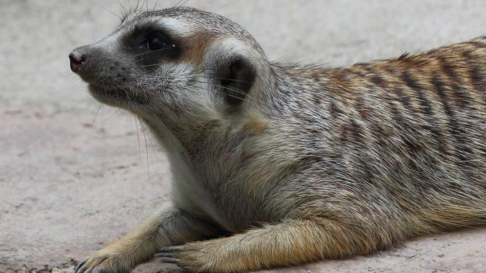 Where Do Meerkats Live?