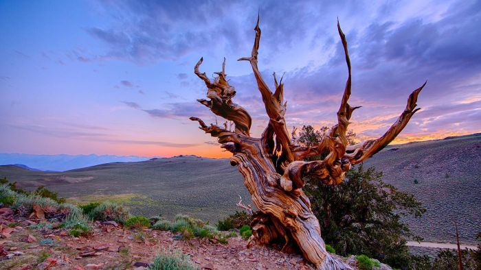 What Is the Methuselah Tree?